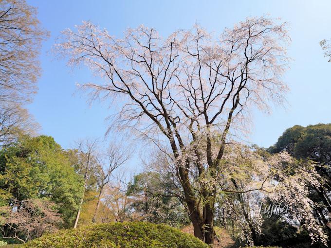 ライトアップされない桜にも注目!