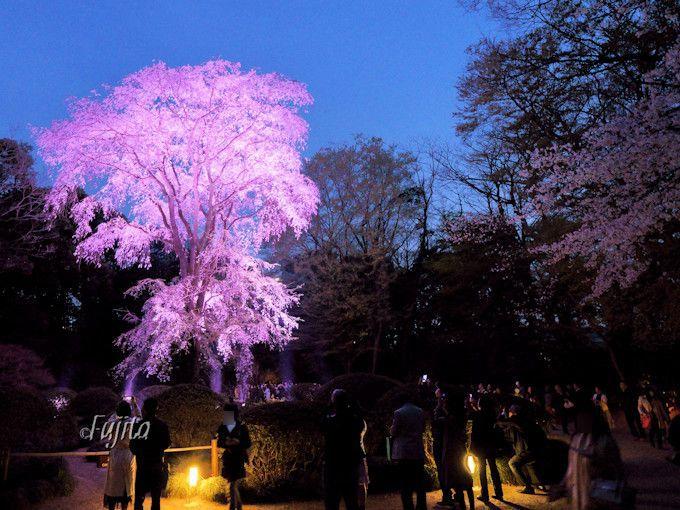 吟花亭のしだれ桜も必見!ライトアップが幻想的