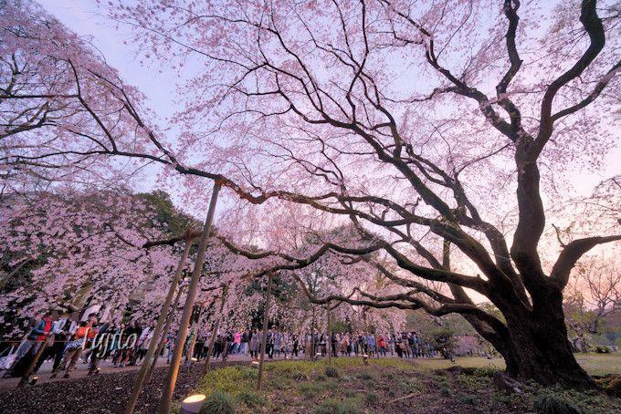 六義園の桜はライトアップが絶景!正門のしだれ桜