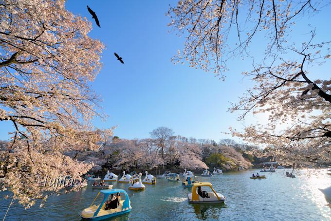 池沿いの桜並木が日光で光り輝く!