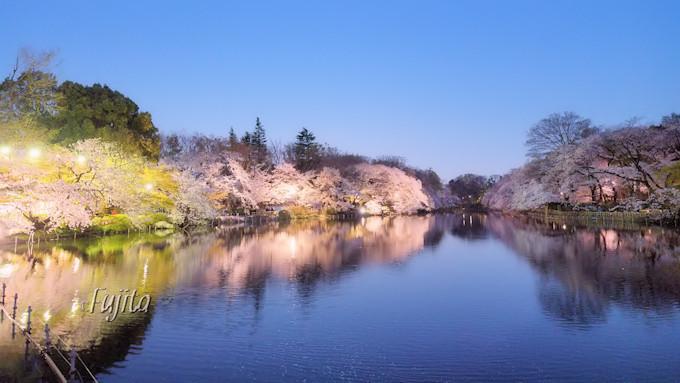 水鏡に反射した夜桜が絶景!