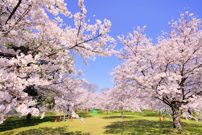 お花見広場に桜が集中!桜並木や池にも注目
