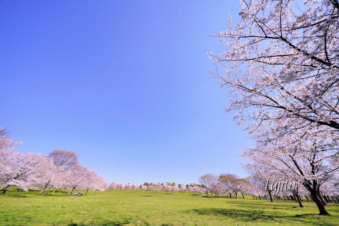 千本桜が広大な緑地とコラボ!東京・舎人公園の花見は穴場