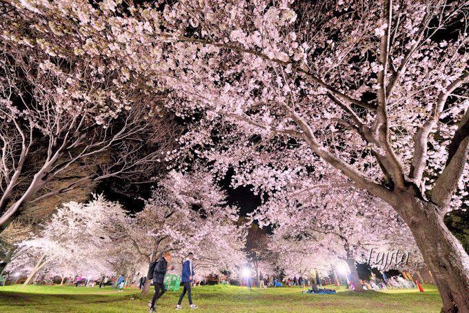 お花見広場と桜並木のライトアップ!