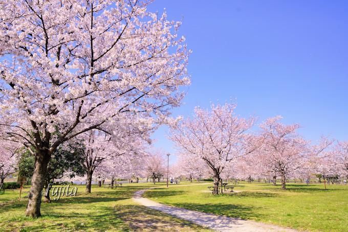 第2駐車場周辺の桜も必見!