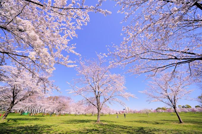 舎人公園の桜は大緑地とコラボ!