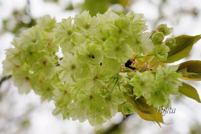 「御衣黄」は珍しい緑色の桜!島根・三刀屋河川敷公園の桜並木
