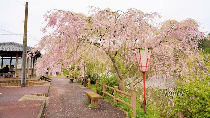 枝垂れ桜や八重桜も見られます!