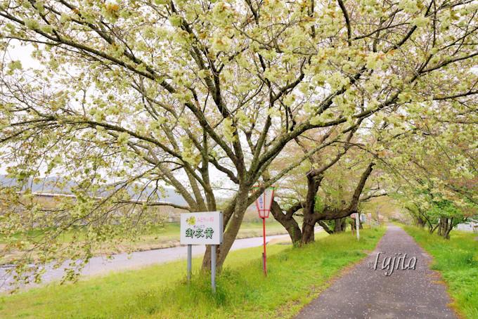 御衣黄の桜並木は大変に珍しい!
