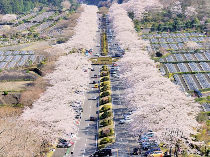 富士霊園の桜はインスタ映え抜群!