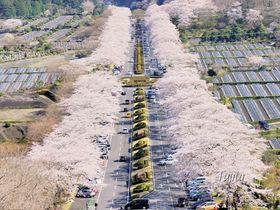 「富士霊園の桜」は日本さくら名所100選!静岡・小山町でお花見