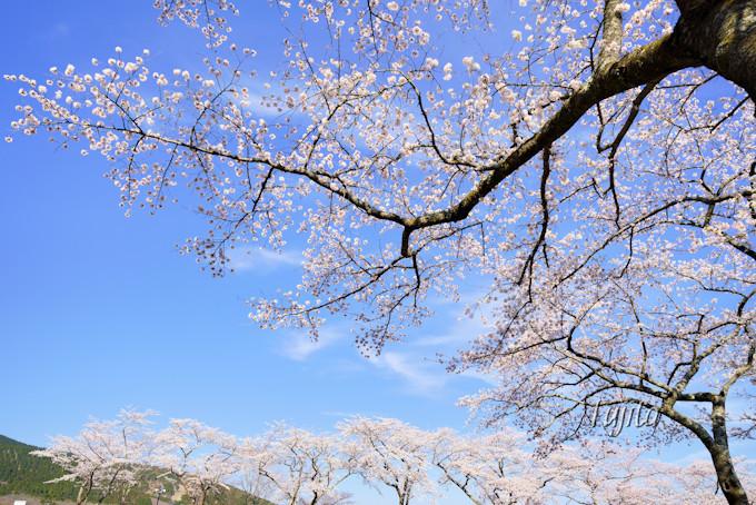 桜中央通りに駐車しよう!