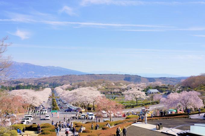 展望台から桜並木を一望!