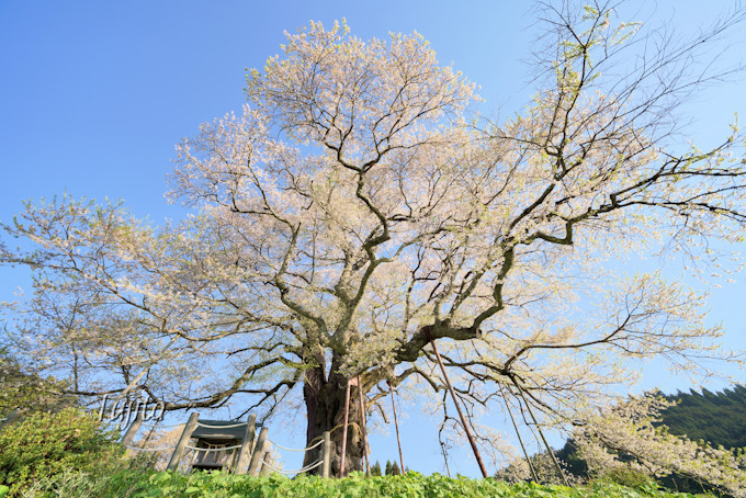 一本桜を至近距離から鑑賞!