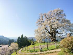 醍醐桜は中国地方を代表する一本桜!岡山・真庭市の花見名所