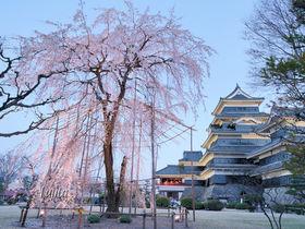 松本城の桜はライトアップも必見!長野・国宝の花見名所は見所多数