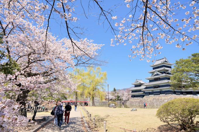 松本城の桜は公園西側に多い!