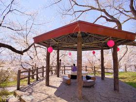 烏帽子山公園の千本桜が凄い!山形・赤湯温泉の花見名所
