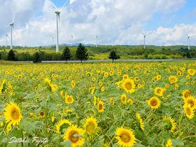 福島のひまわり名所!布引高原は風車が林立する「風の高原」
