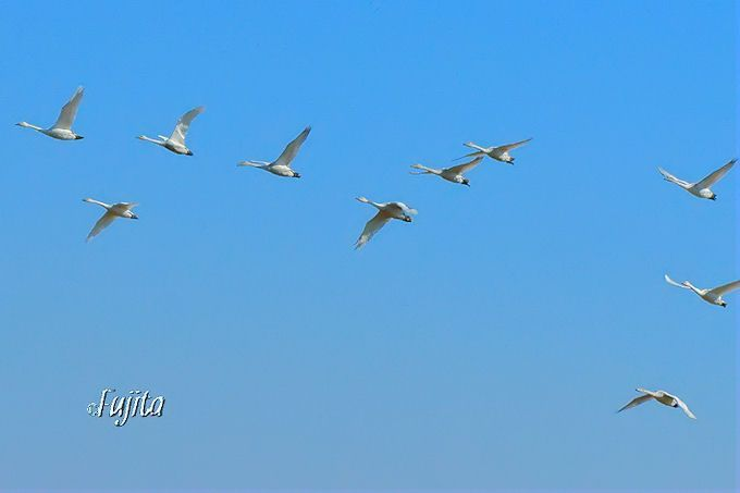 印西市本埜・白鳥の郷「早朝の飛翔」
