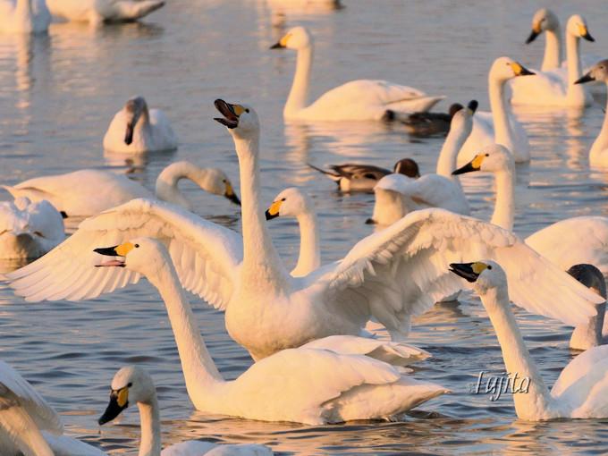 白鳥は春一番に乗ってシベリアに帰ります