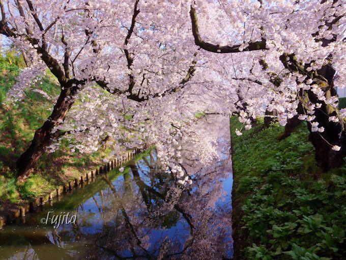 弘前城の桜は外堀の花筏とリフレクションが絶景!
