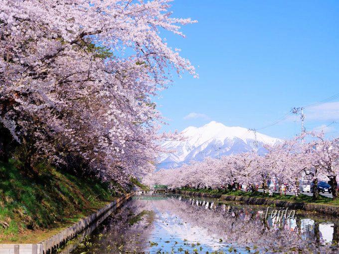 桜と岩木山のコラボは晴天時限定!