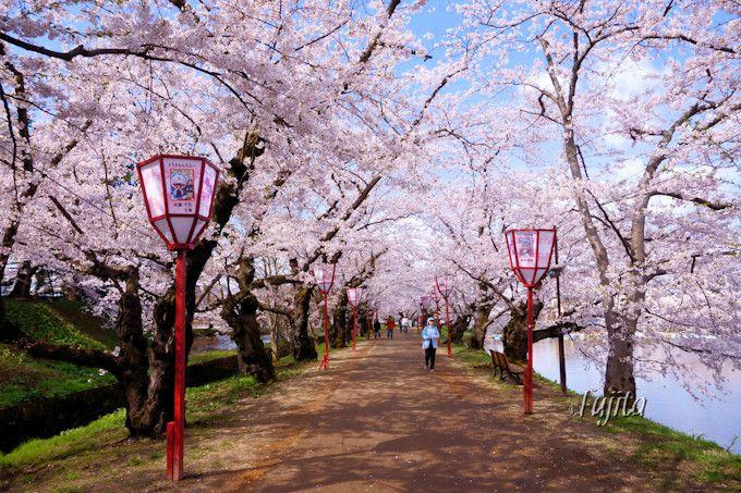 桜のトンネルは昼間がおすすめ!