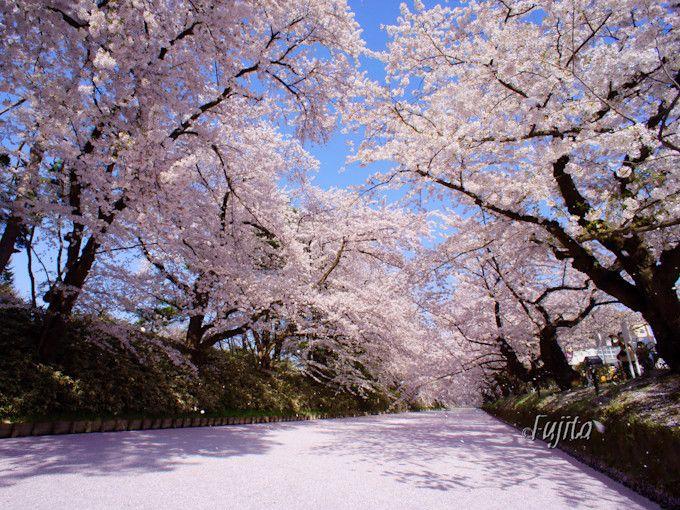 桜の名所「弘前城・弘前公園」で花見と城下町散策を