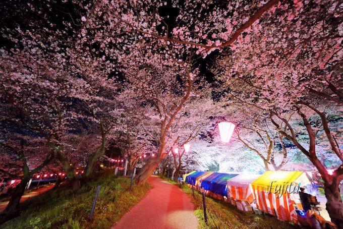 多数の提灯による夜桜ライトアップ!