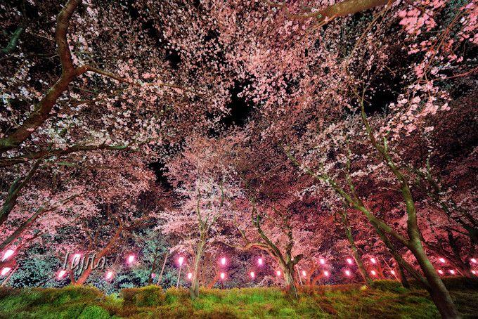 夜桜のライトアップが大幅に進化!
