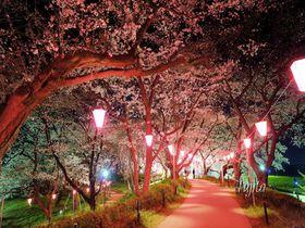 権現堂桜堤は夜桜ライトアップも絶景!埼玉県幸手市の花見名所