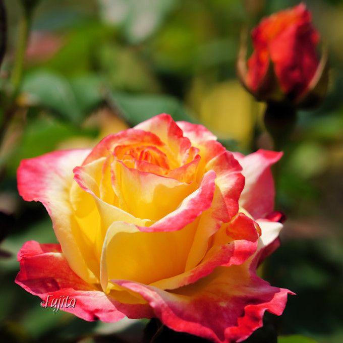 一度覚えたら忘れない品種「サハラ'98」がバラのアーチに!