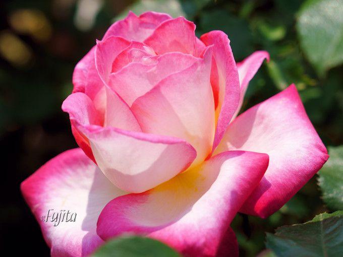 コルデスジュビリーは遅咲きのバラ品種!
