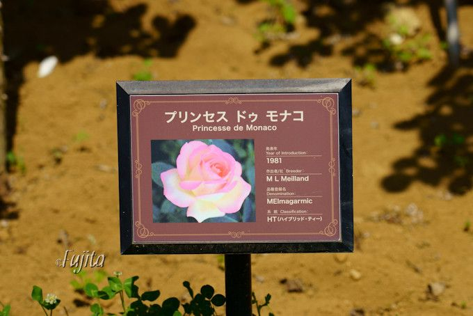 京成バラ園の大人気品種!ピエールドゥロンサール
