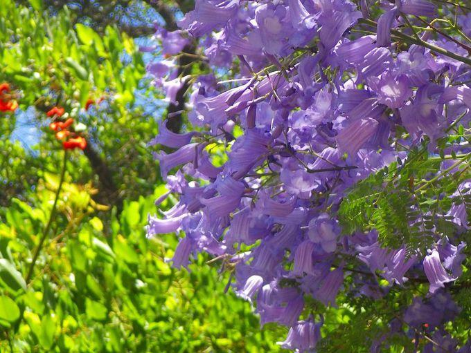 春から夏を彩る南米の桜、ジャカランダ