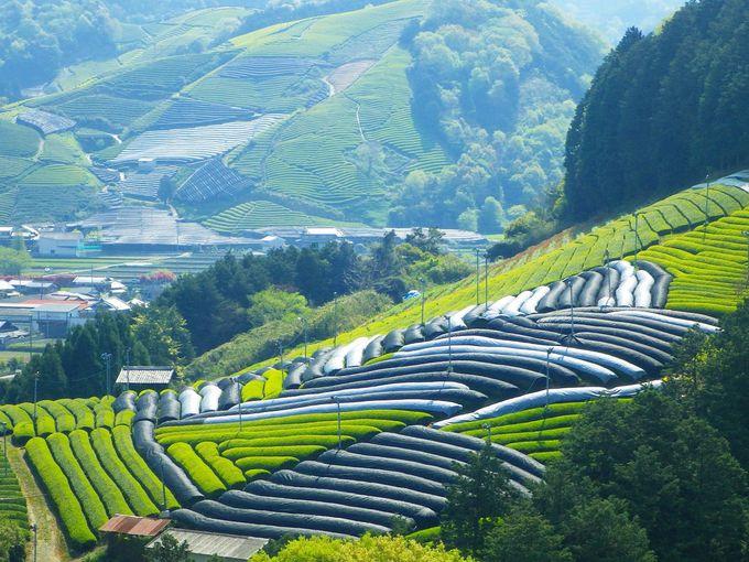 宇治茶はここから生まれる!山一面に広がる和束町の茶畑