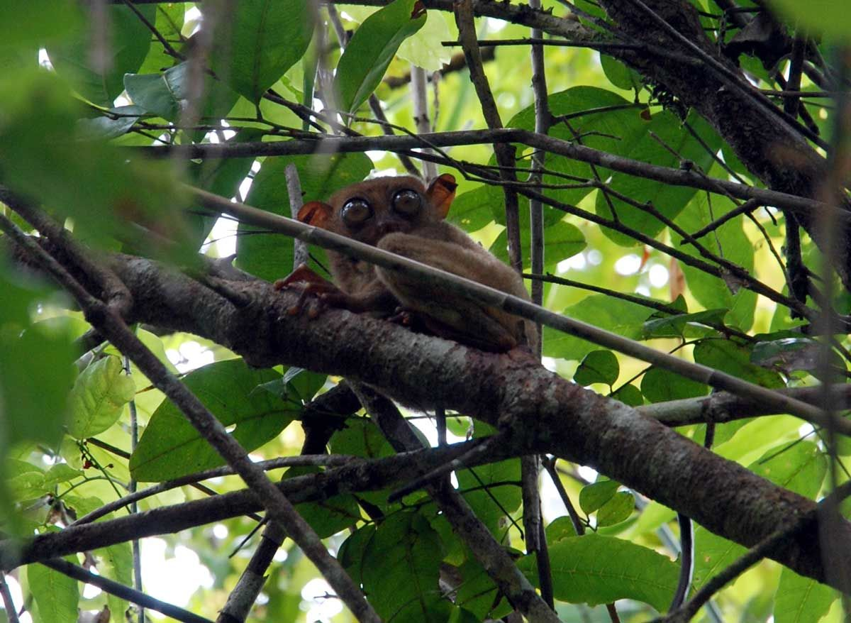 フィリピン・ボホール島で世界最小のメガネザル「ターシャ」に出会う旅!映画『グレムリン』にも登場!