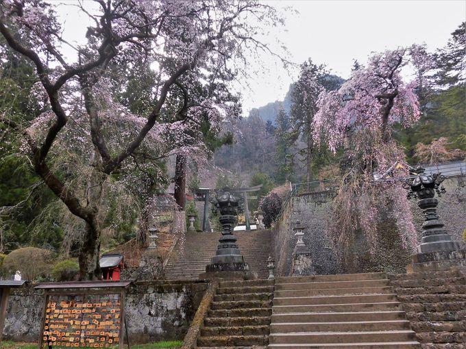 富岡には、ほかにも桜スポットが点在!