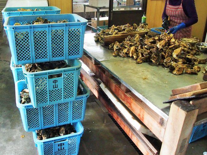 水揚げされたばかりの牡蠣が山積み