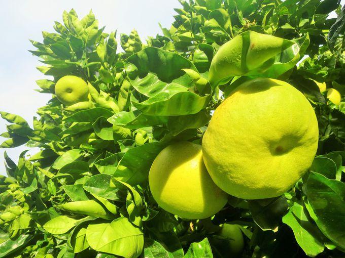 柑橘系が豊富。時期により収穫体験も様々