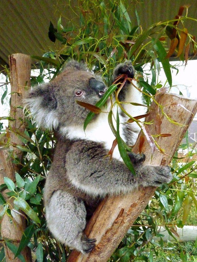 野生のコアラとハグしたい♡豪州「アデレード・ヒルズ」