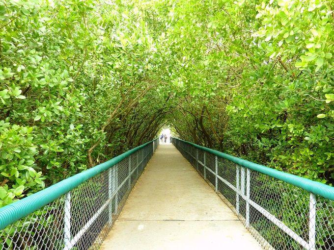 マングローブのトンネルを抜けて水のうえを歩く