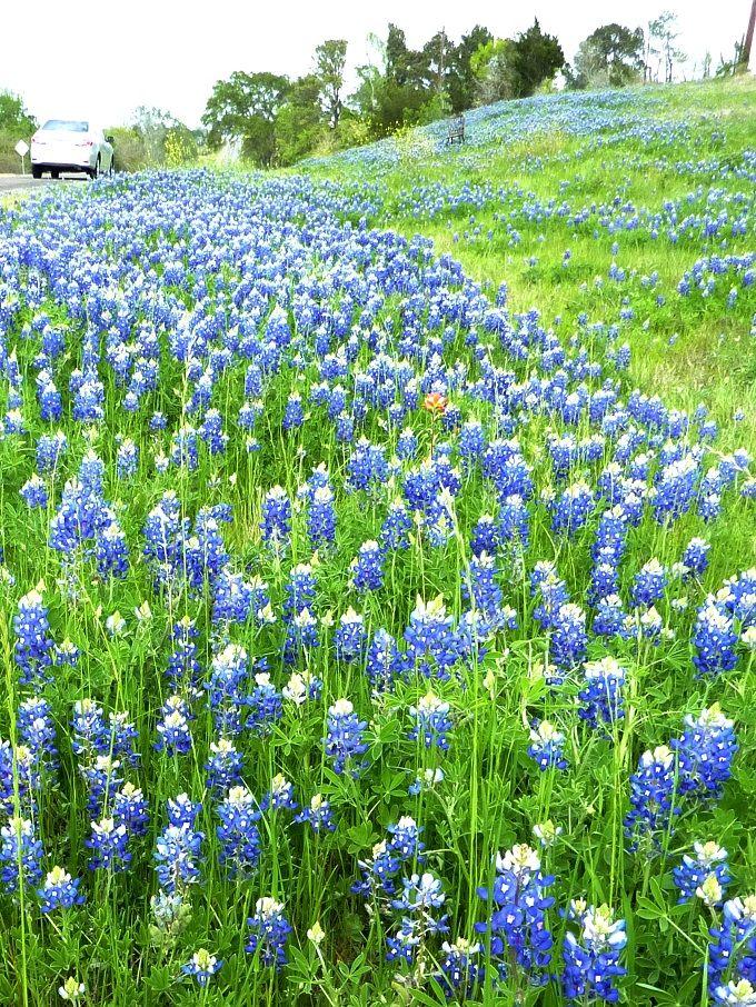 テキサスに春を告げる州花「ブルーボネット」