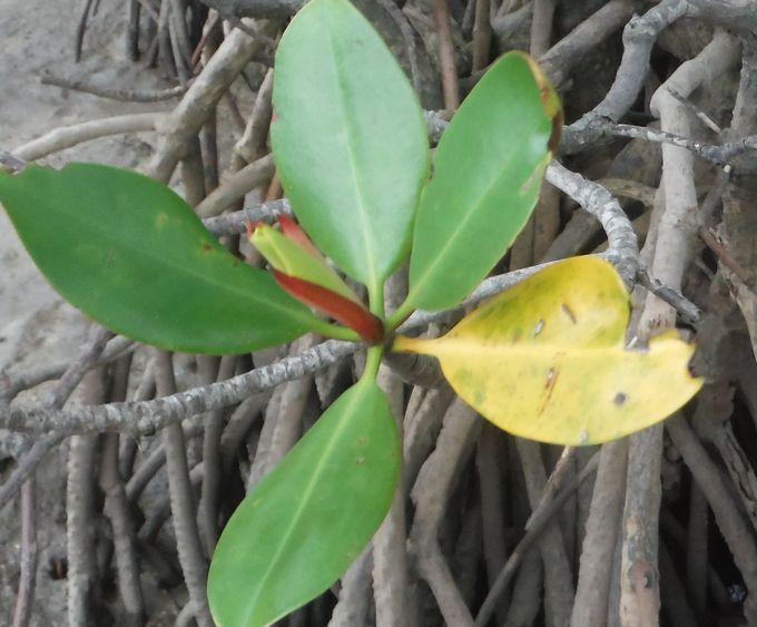 マングローブをじっくり観察。黄色の葉の秘密は?