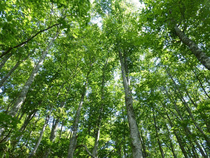 美しいブナの森が続く蔵王中央高原を散策しよう