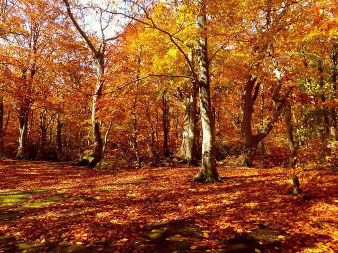 八甲田山麓は沿道の紅葉風景が素晴らしい!