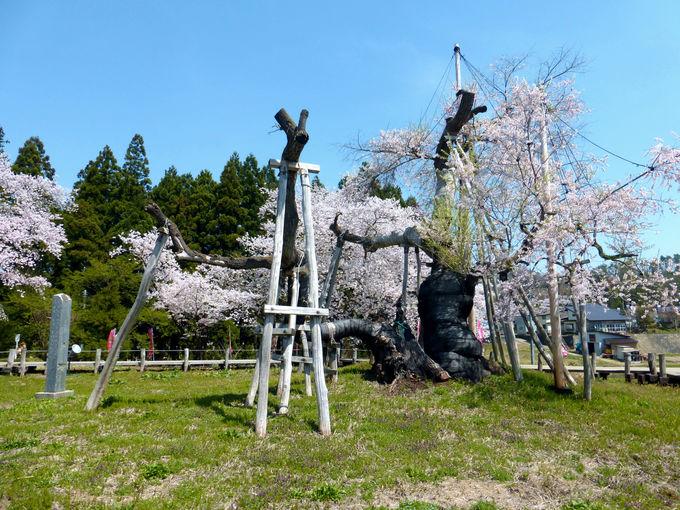 これが「伊佐沢の久保桜」だ!樹齢1,200年を数える巨大桜