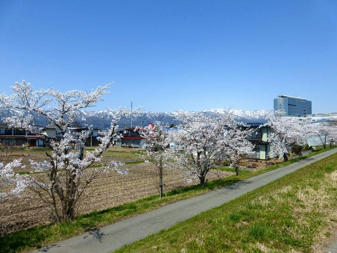 最上川沿いに美しい桜が咲き連なる「最上川堤防千本桜」
