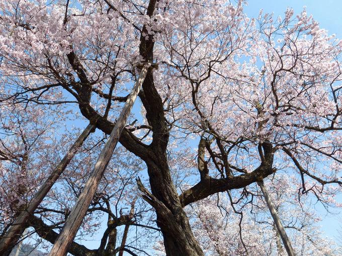 長閑な田園風景に溶け込むように咲き乱れる…十二の桜!